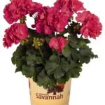 Pelargonium Zonale Savannah Punch