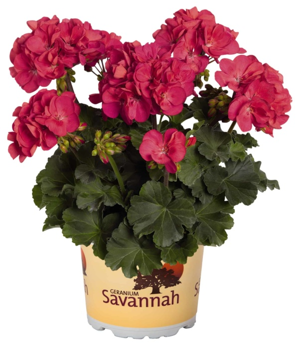 Pelargonium Zonale Savannah Punch