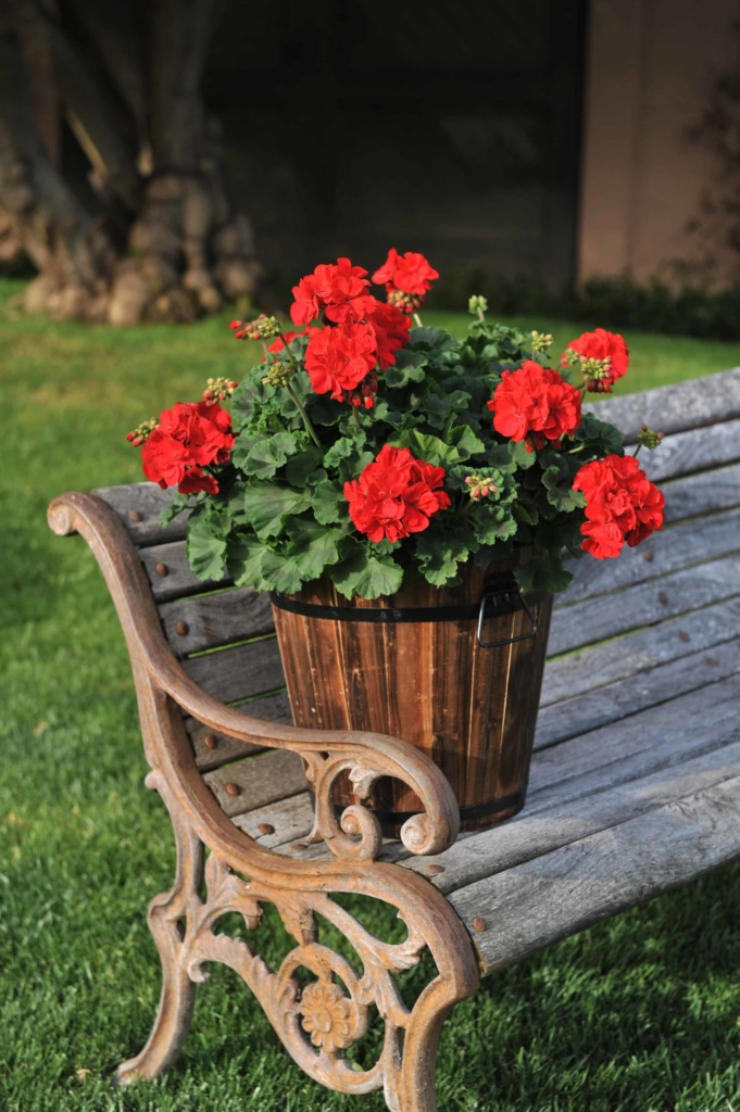 Pelargonium Zonale Savannah Red