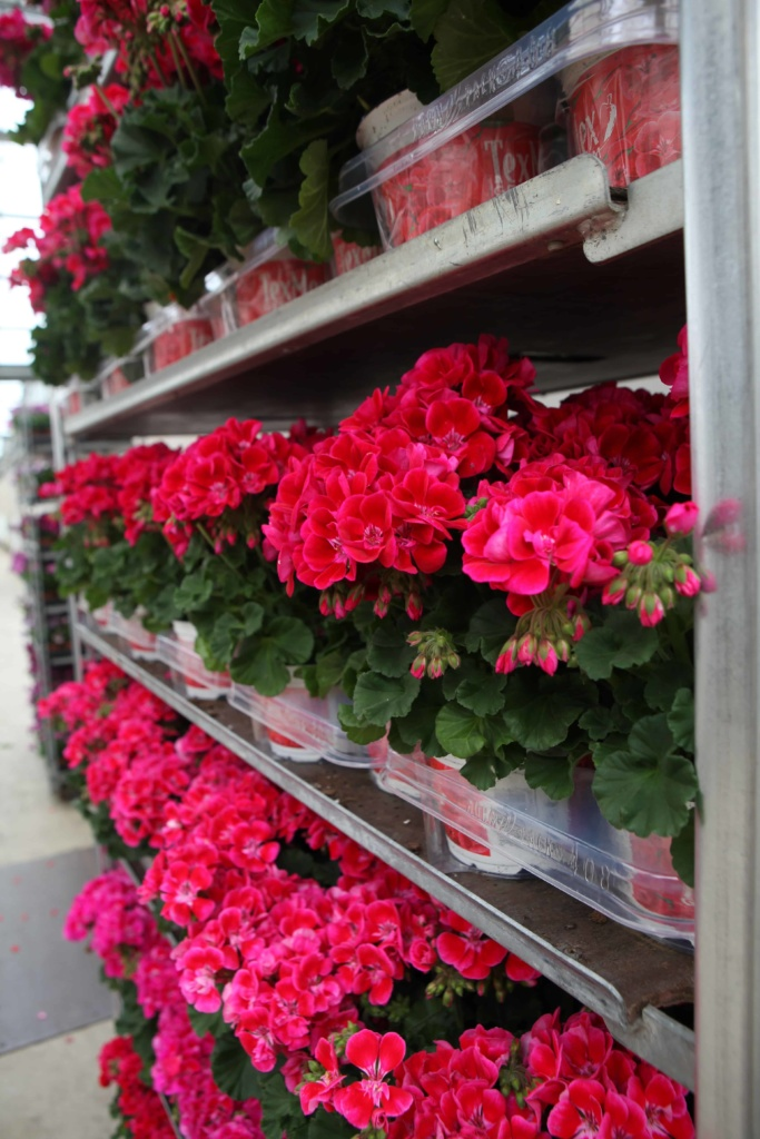 Pelargonium Zonale Savannah Texmex Hot Pink