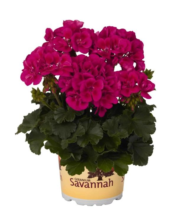 Pelargonium Zonale Savannah Texmex Merlot Sizzle