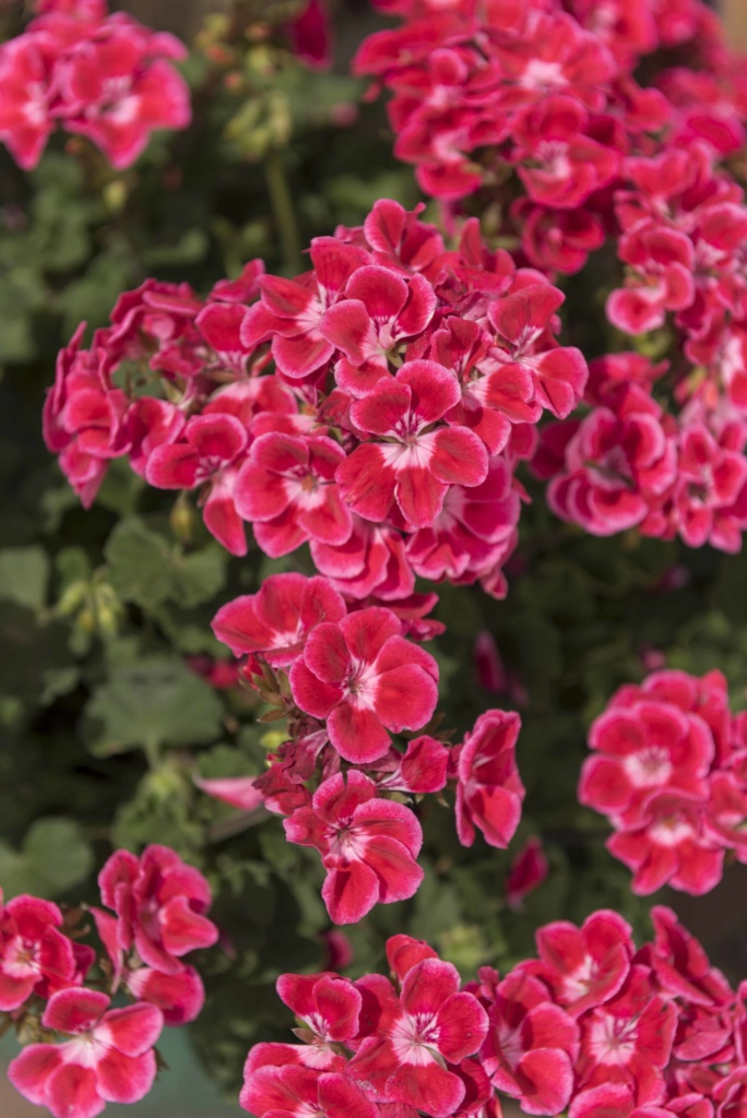 Pelargonium Zonale Savannah Texmex Ruby