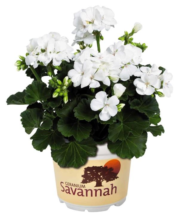 Pelargonium Zonale Savannah White