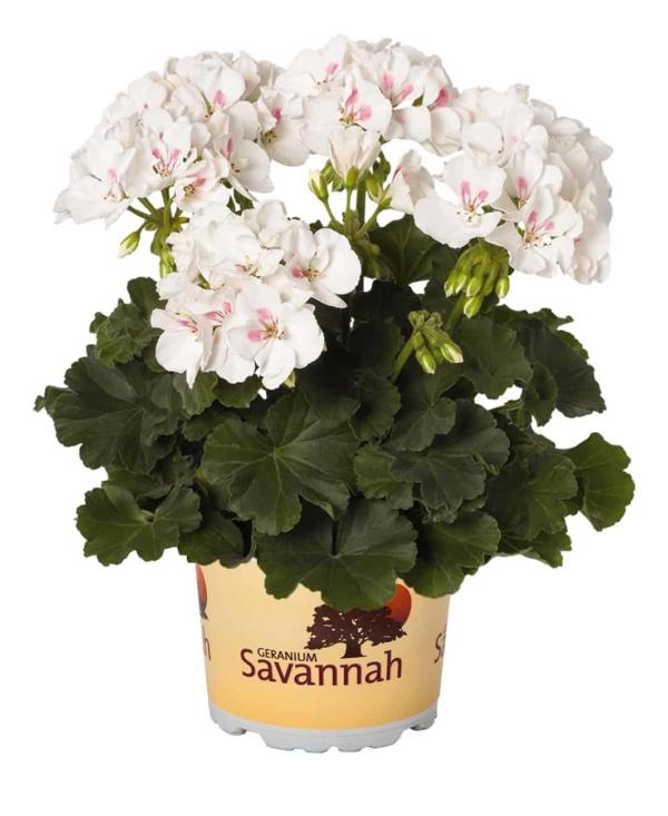 Pelargonium Zonale Savannah White Splash