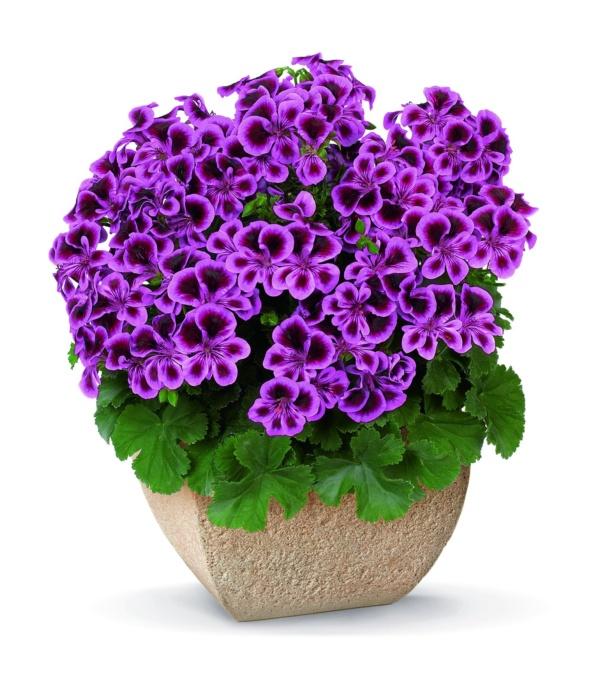 Pelargonium Crispum Angeleyes® Blueberry