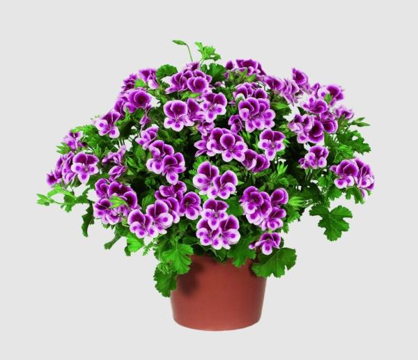 Pelargonium Crispum Angeleyes® Randy
