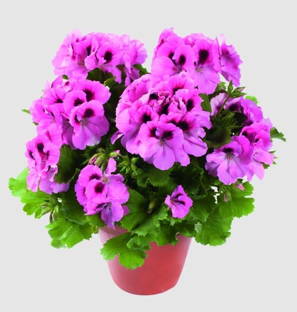 Pelargonium Grandiflorum Aristo® Pink
