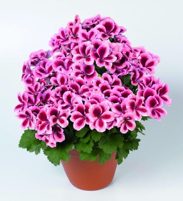 Pelargonium Grandiflorum Aristo® Strawberry Creme