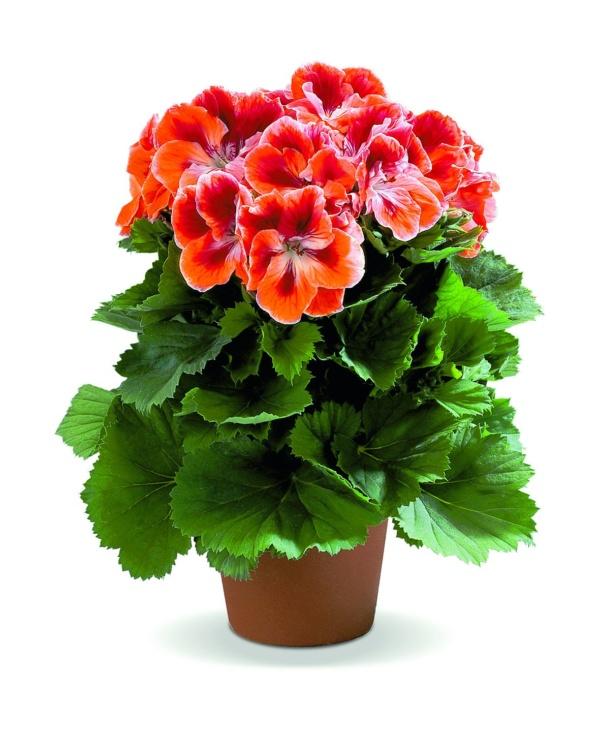 Pelargonium Grandiflorum Aristo® Mandarin
