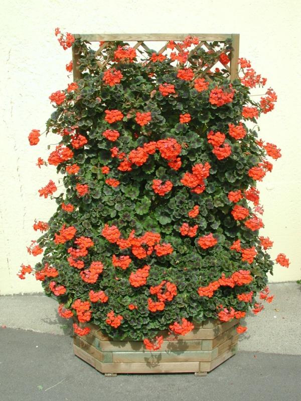 Pelargonium Zonale Pac® Antik Orange