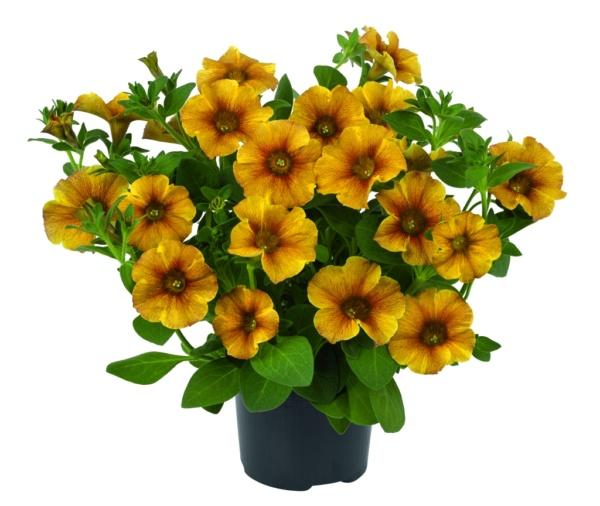 Petunia Petchoa Beautiacal Caramel Yellow