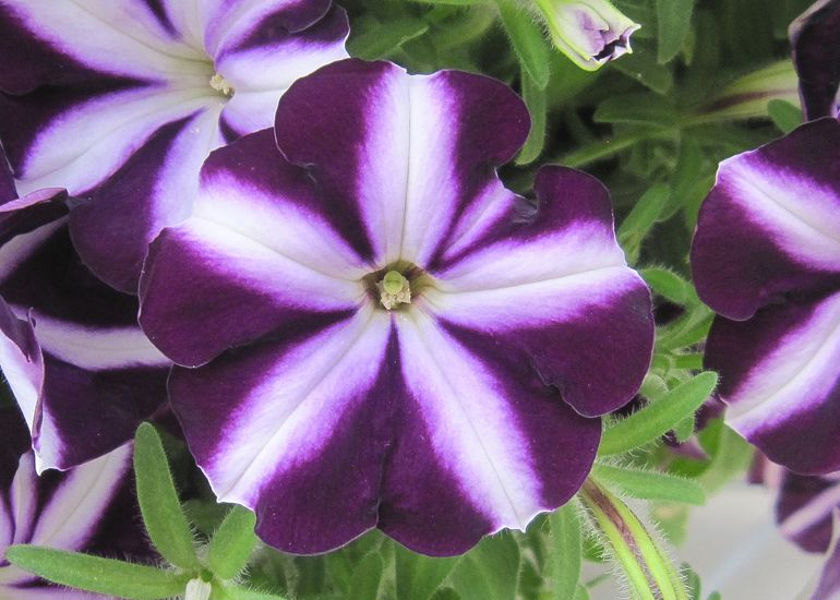 Petunia Bonnie Purple Star