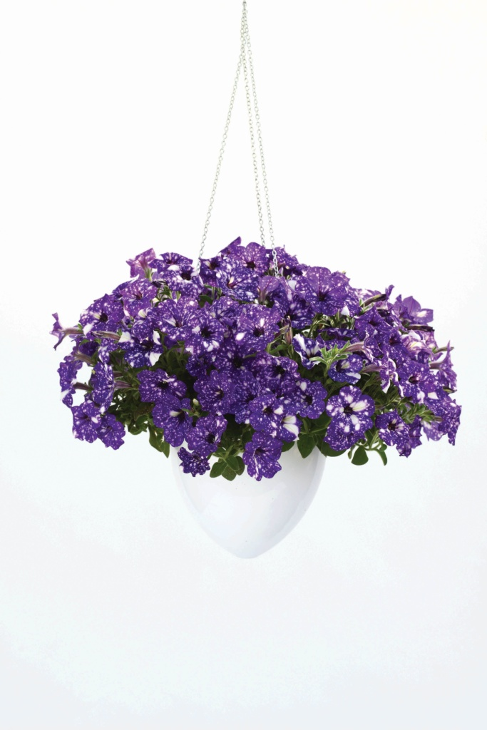 Petunia NightSky ®