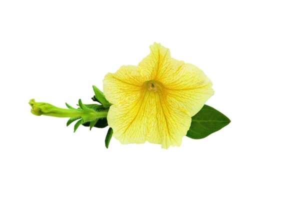 Petunia Surfinia™ Yellow