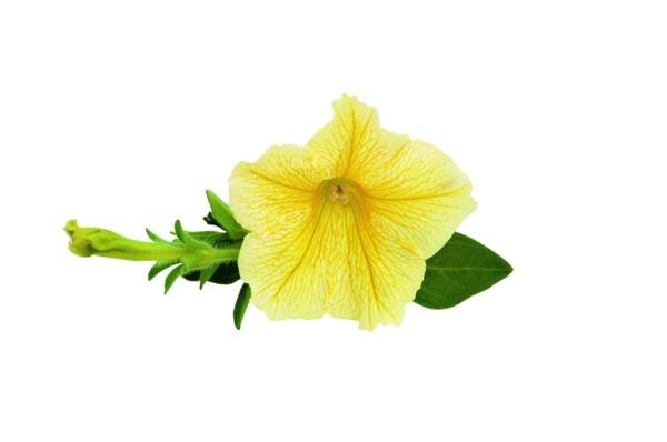 Petunia Surfinia™ Yellow