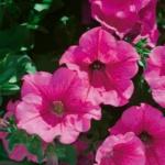Petunia Surfinia® Hot Pink 05