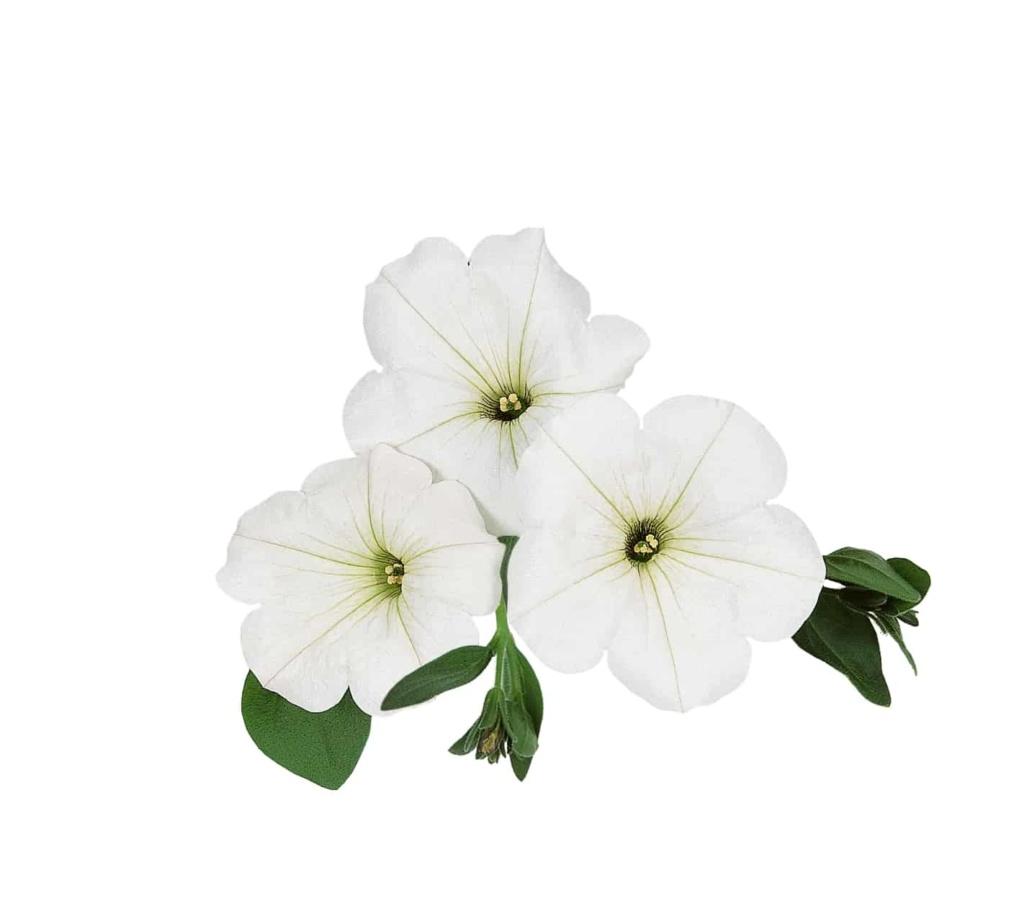 Petunia Surprise White