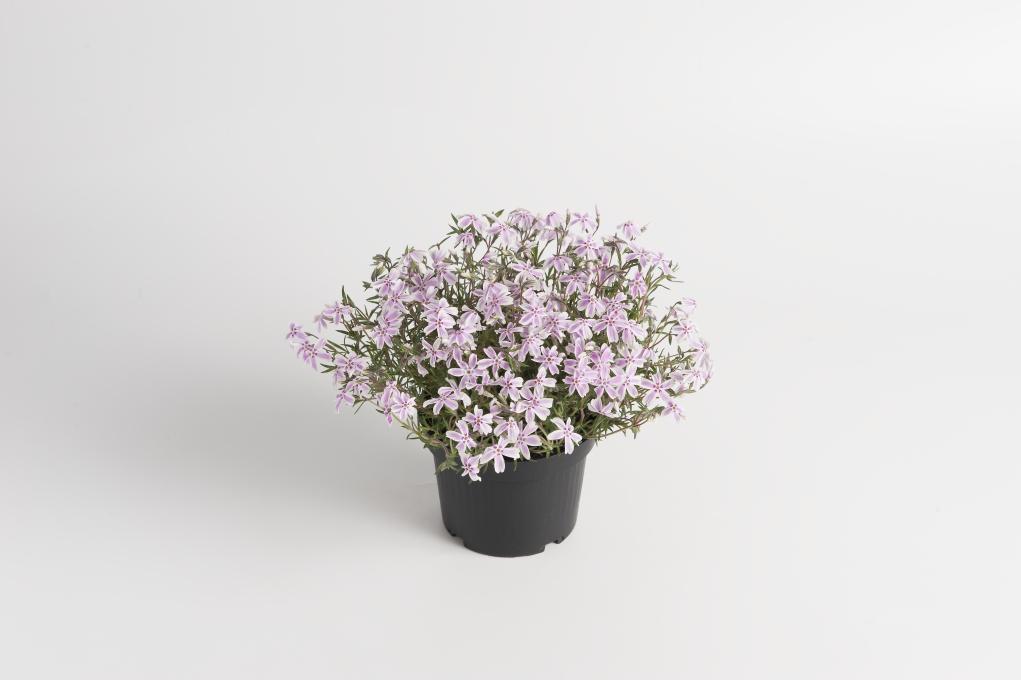 Phlox subulata Kimono Pink-White