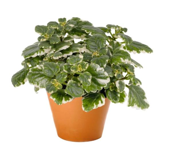 Plectranthus variegatta