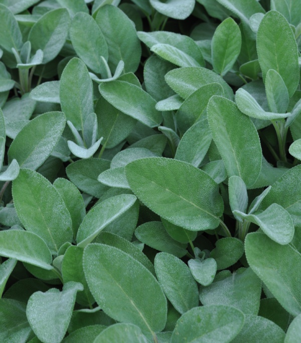 Salvia officinalis Culinaria