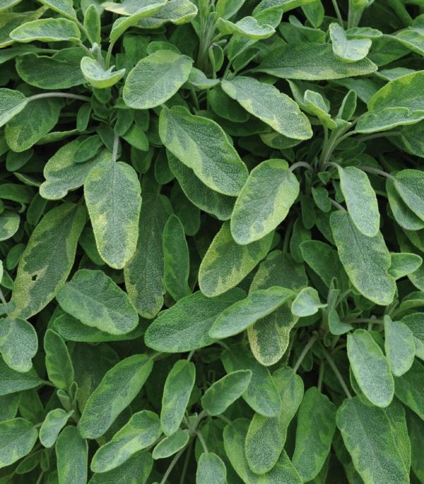 Salvia officinalis Goldblatt
