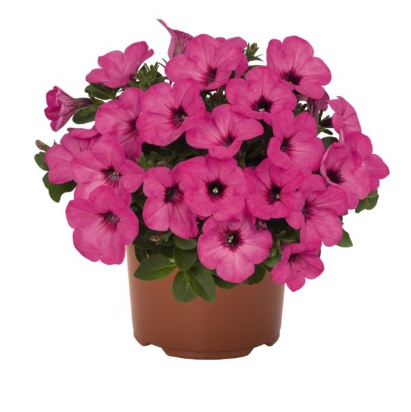 Petunia Sweetunia Pinkalicious