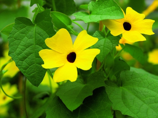 Thunbergia Alata Yellow