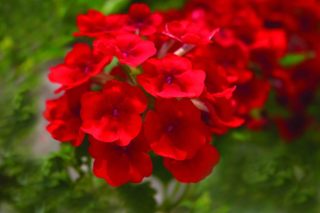 Verbena Empress Sun Red